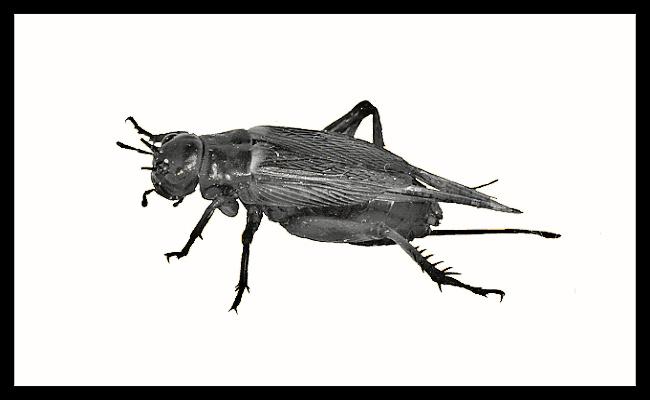Gryllus bimaculatus - micro - 120 ks