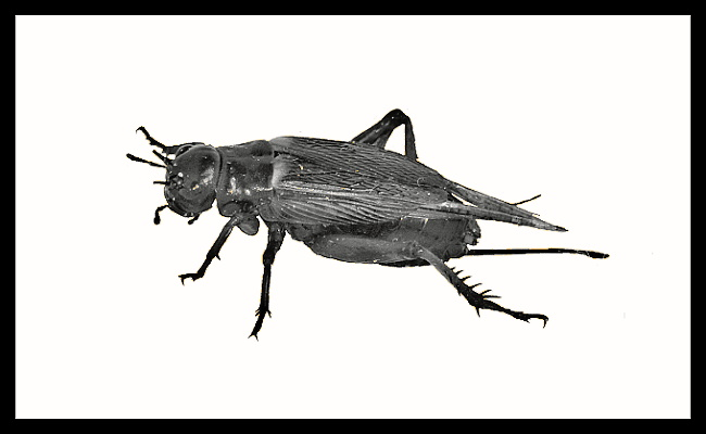 Gryllus bimaculatus - medium  - 1000 ks