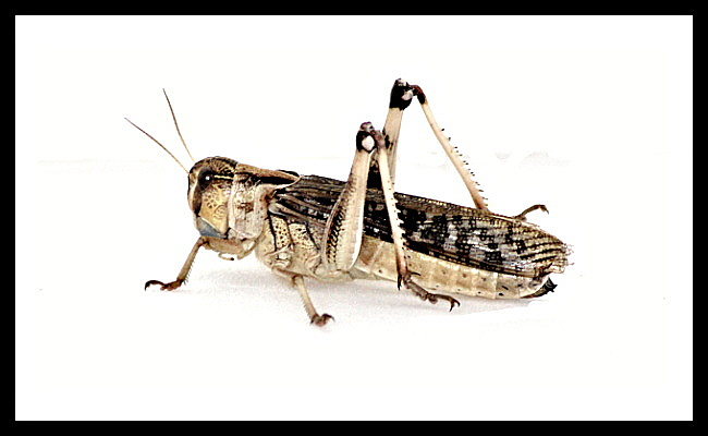 Locusta migratoria - subadult - 11 ks