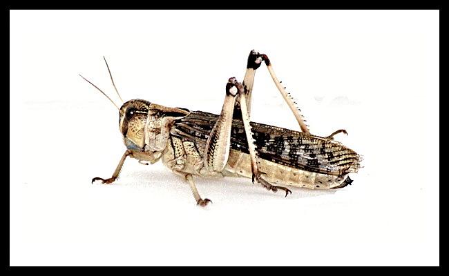 Locusta migratoria - subadult - 100 ks