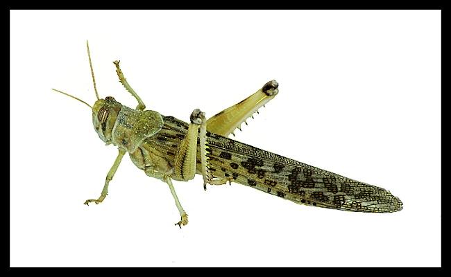 Schistocerca gregaria - small - 15 ks