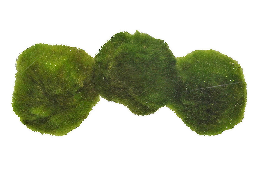 Cladophora aegagrophila - 5 - 7 cm